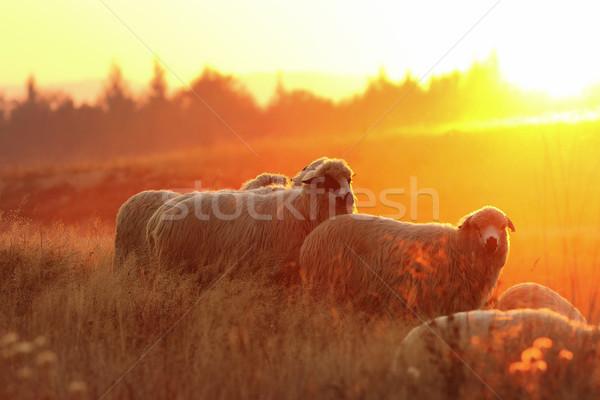 群れ 羊 美しい 日没 光 ファーム ストックフォト © taviphoto