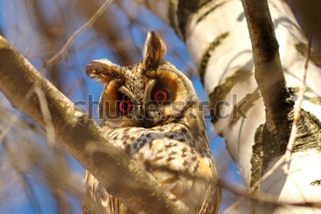 Hosszú bagoly fa szemek madár toll Stock fotó © taviphoto