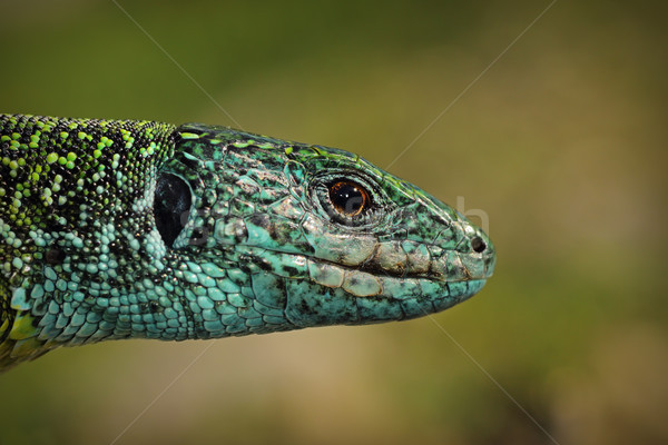 green lizard closeup of head Stock photo © taviphoto