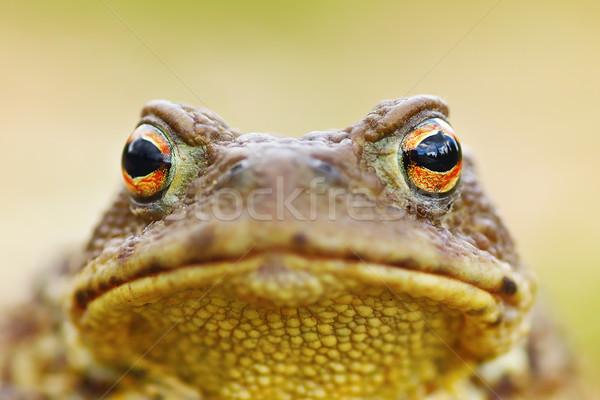 Hermosa marrón sapo retrato rana piel Foto stock © taviphoto