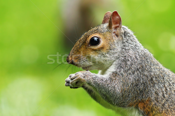 closeup of hungry grey squirrel Stock photo © taviphoto