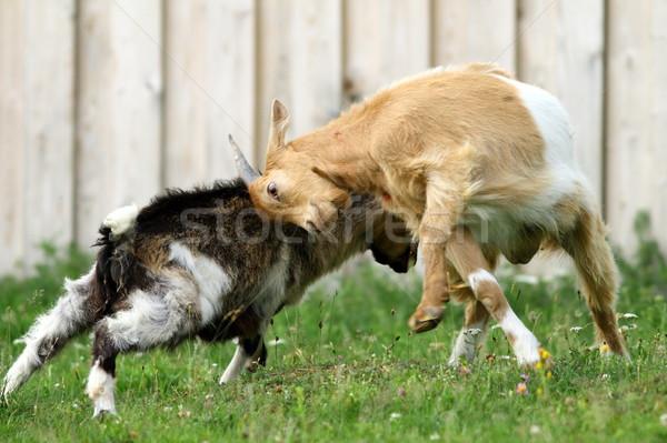 Boerderijdieren vechten twee jonge geiten voorjaar Stockfoto © taviphoto