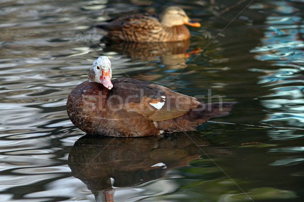 feral muscovy duck Stock photo © taviphoto