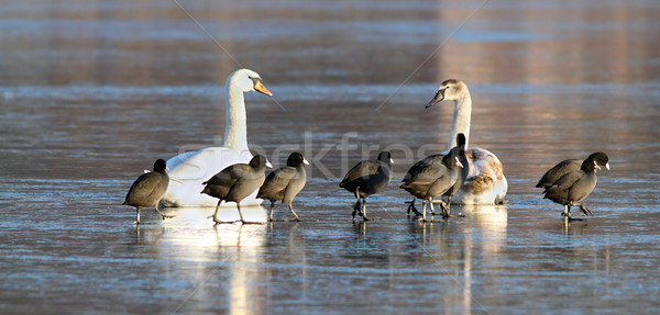 mute swans and coots together on ice Stock photo © taviphoto