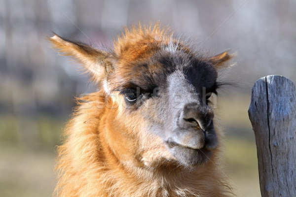 llama standing near farm fence Stock photo © taviphoto