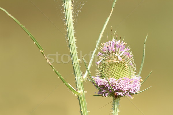 thistle pink flower Stock photo © taviphoto