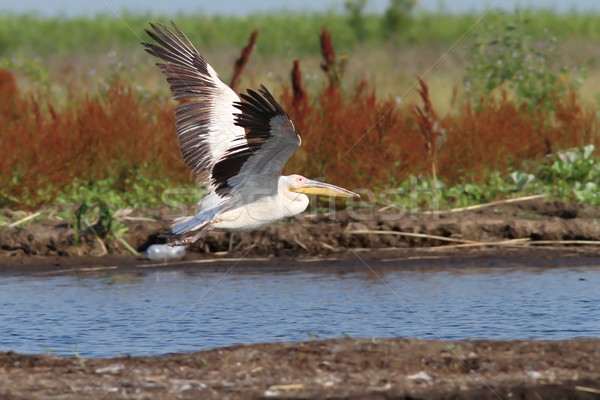 great white pelican taking off Stock photo © taviphoto