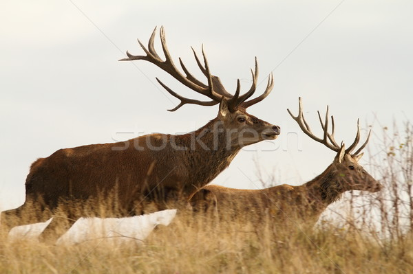 running deers Stock photo © taviphoto