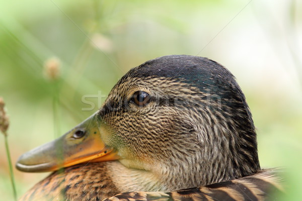 closeup of female mallard head Stock photo © taviphoto