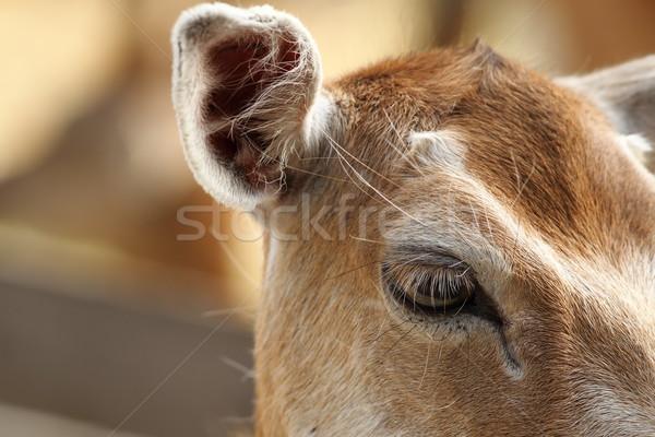 closeup of fallow deer hind, eye detail Stock photo © taviphoto