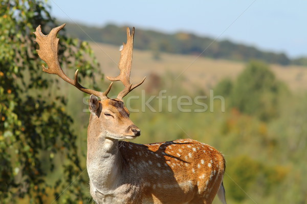portrait of a male fallow deer Stock photo © taviphoto