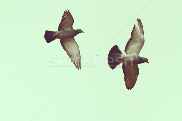 two pigeons over the sky Stock photo © taviphoto