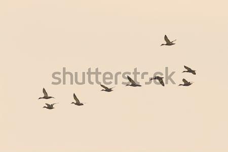 flock of wild ducks on the sky Stock photo © taviphoto