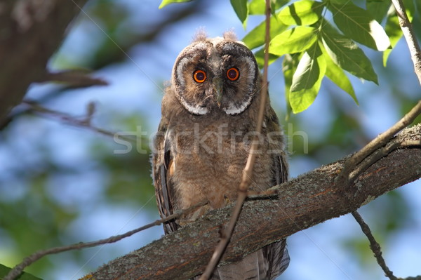 young long eared owl Stock photo © taviphoto