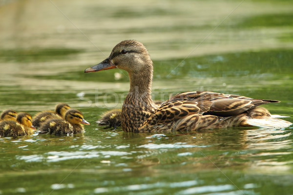 female mallard duck with ducklings on lake Stock photo © taviphoto