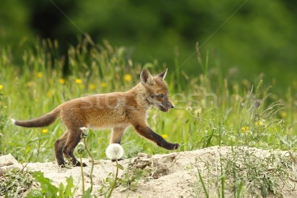 Jovem vermelho raposa caminhada bebê grama Foto stock © taviphoto