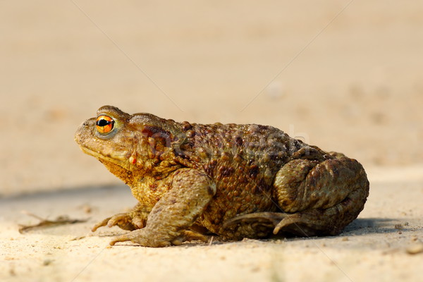 profile view of brown common toad Stock photo © taviphoto