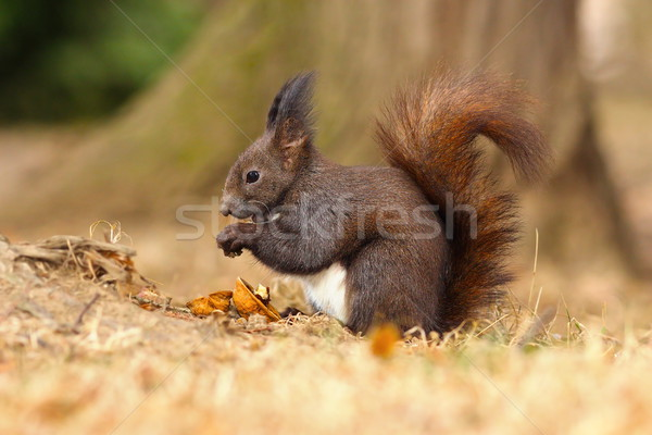 european red squirrel eating walnut Stock photo © taviphoto