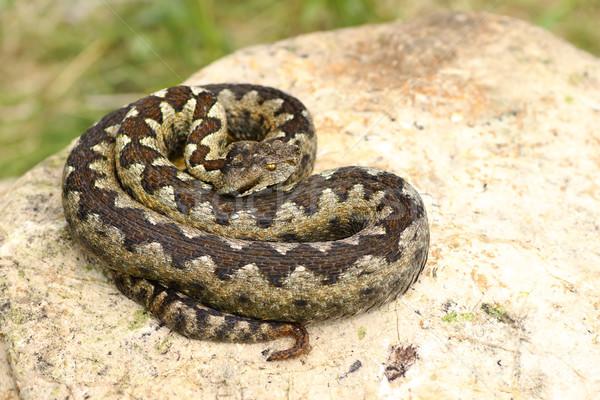 Photo stock: Belle · venimeux · européenne · serpent · chaux · pierre