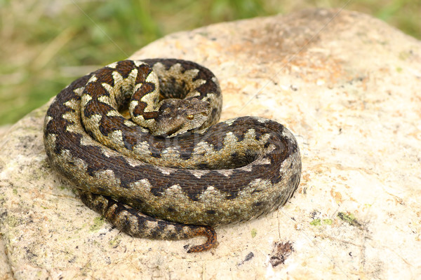 Hermosa venenoso europeo serpiente cal piedra Foto stock © taviphoto