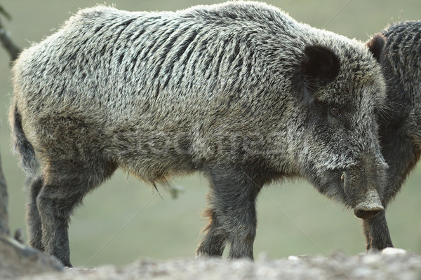 large wild boar at dawn Stock photo © taviphoto