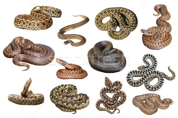 Colección aislado europeo venenoso serpientes blanco Foto stock © taviphoto