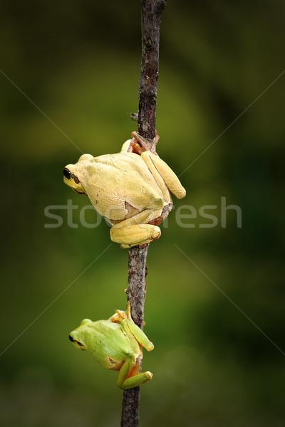 żaba rodziny syn ojca stałego gałązka Zdjęcia stock © taviphoto