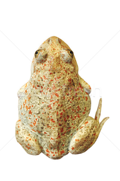 isolated beautiful  garlic toad Stock photo © taviphoto