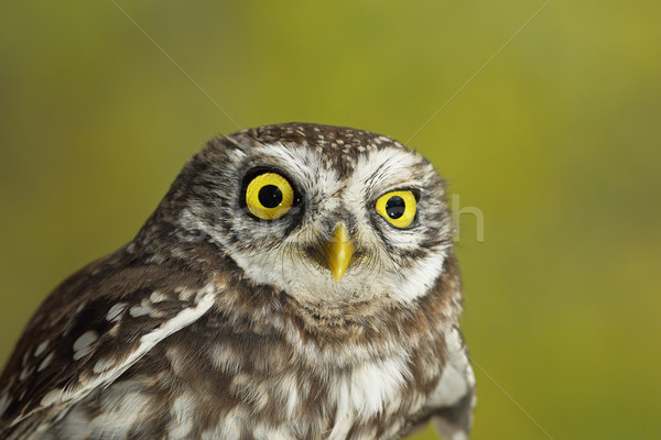 portrait of cute little owl Stock photo © taviphoto