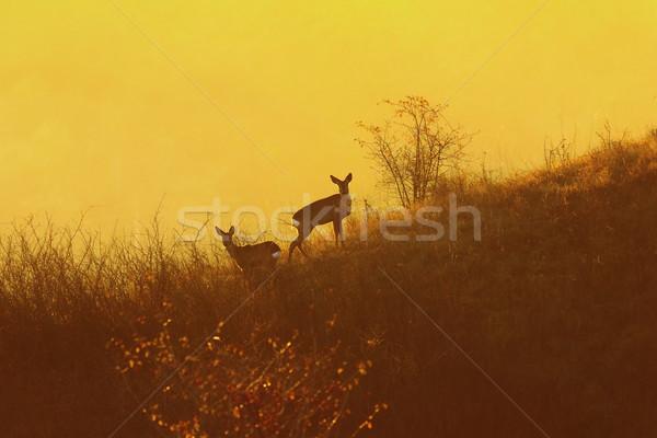 Ikra narancs fény hajnal vadállatok természetes Stock fotó © taviphoto