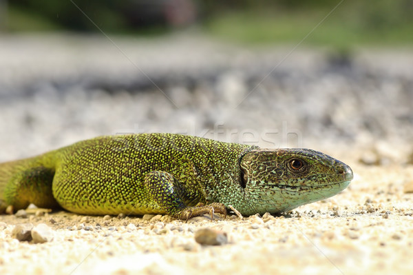 green lizard basking on the ground Stock photo © taviphoto