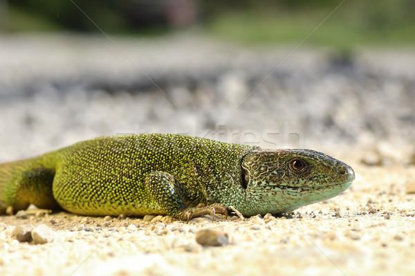 Zöld gyík föld tavasz nyár homok Stock fotó © taviphoto