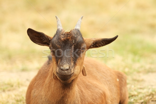 Stock photo: brown goat laying down