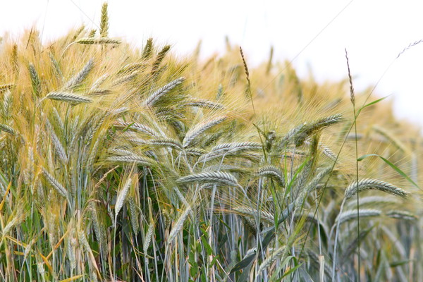 wheat field over white Stock photo © taviphoto