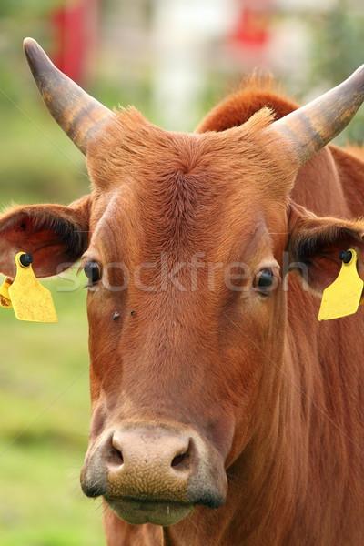 curious zebu portrait Stock photo © taviphoto