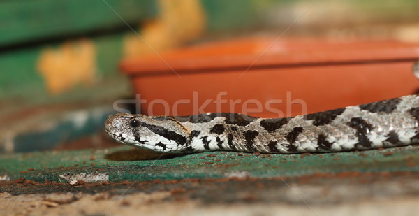 vipera palaestinae in a terrarium Stock photo © taviphoto