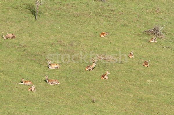 red deer herd relaxing Stock photo © taviphoto