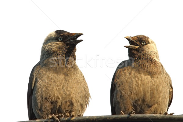 isolated jackdaws at a chat Stock photo © taviphoto