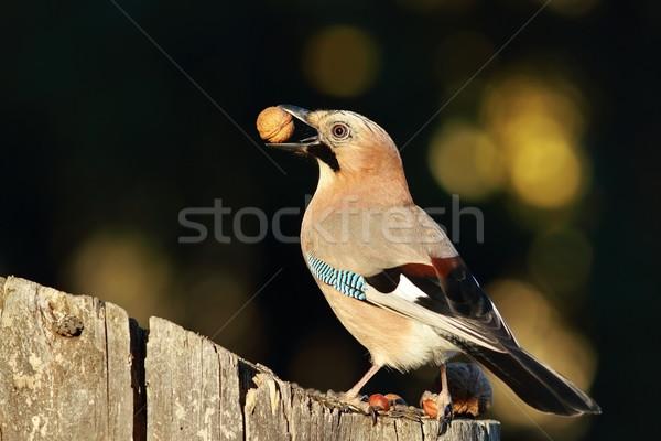 jay eating nut Stock photo © taviphoto