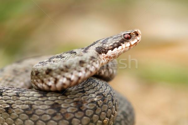 european common berus viper close up Stock photo © taviphoto