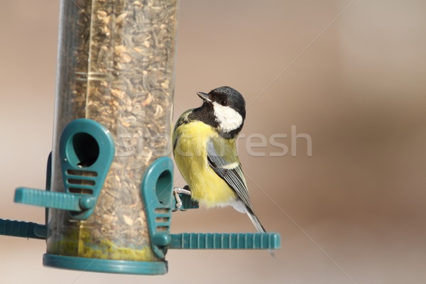 great tit on sunflower seed feeder Stock photo © taviphoto
