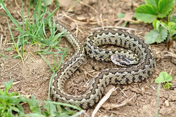 мужчины природного среда обитания луговой змеи Сток-фото © taviphoto