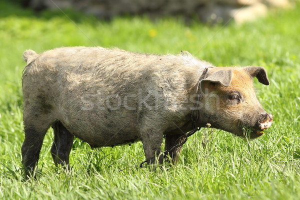 dirty pig grazing on lawn Stock photo © taviphoto