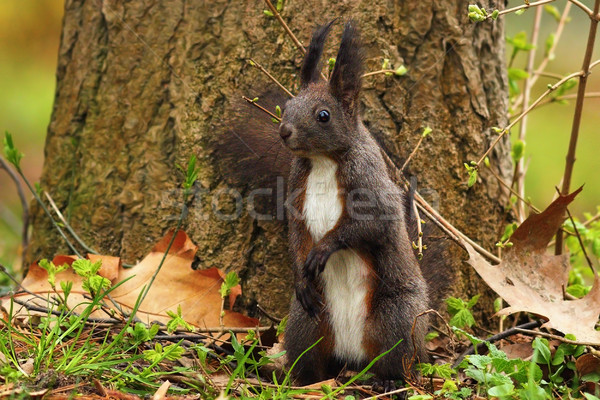 cute squirrel in the park Stock photo © taviphoto