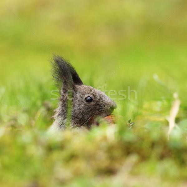 cute squirrel portrait Stock photo © taviphoto