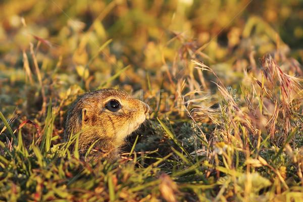 Sevimli genç avrupa zemin sincap gizleme Stok fotoğraf © taviphoto