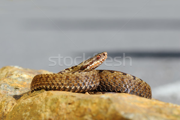 beautiful common european viper basking on stone Stock photo © taviphoto