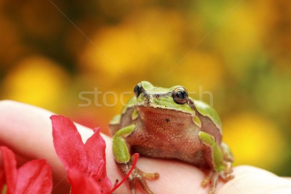 beautiful green tree frog on human hand Stock photo © taviphoto