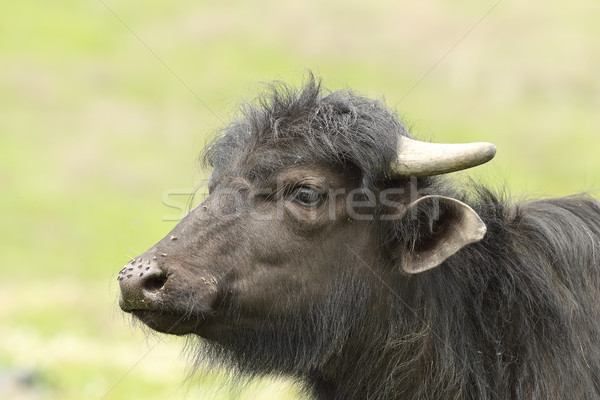 portrait of juvenile domestic  black buffalo Stock photo © taviphoto