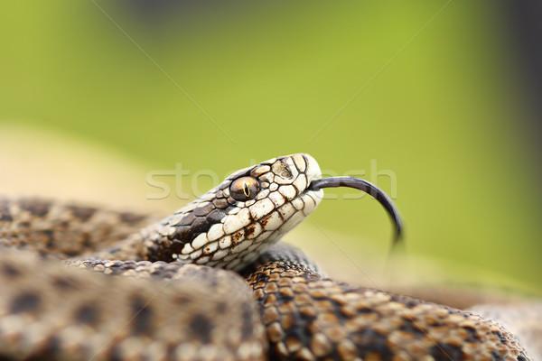 Ritka legelő portré európai kígyó veszélyeztetett Stock fotó © taviphoto